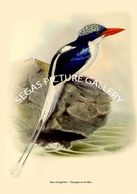 Fine art print of the Raou Kingfisher - Tanysiptera Emiliae by  the artist Johannes Gerardus Keulemans (1868-1871)